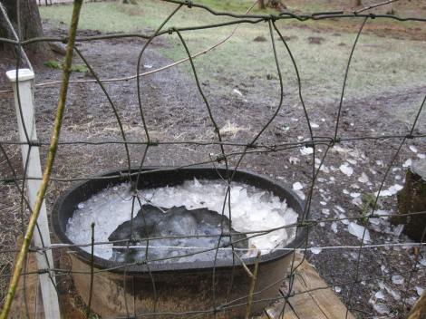 The week of below freezing weather also meant frozen water for the animals. We had to bring out fresh water a couple times a day.