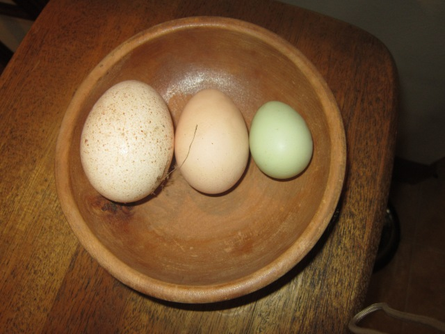 Comparing the size... the large one is a turkey egg, the medium one is a normal chicken and the tiny blue one is the bantam chicken.