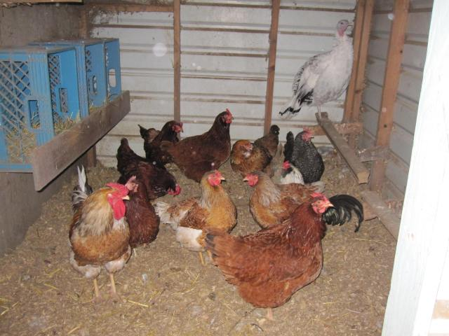 chickens hiding in coop